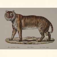 Natur Tiere Saeugetiere Tiger_00004_gr.jpg