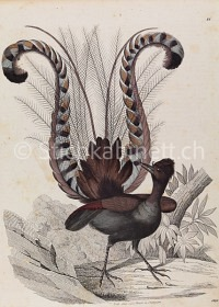 Natur Vogel Paradiesvogel (?)