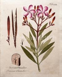 Gemeiner Oleander – Nerium oleander