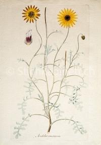 Arctotis cineraria