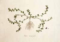 Glycine monophylla