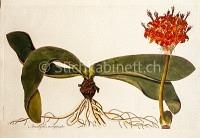 Amaryllis marginata