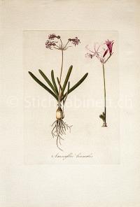 Amaryllis humilis