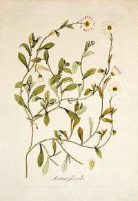 Arctotis flaccida