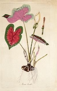 Arum bicolor