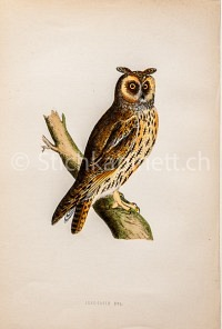 Lpng-eared Owl